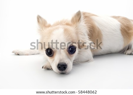 chihuahua  putting  her head on paws on white - stock photo