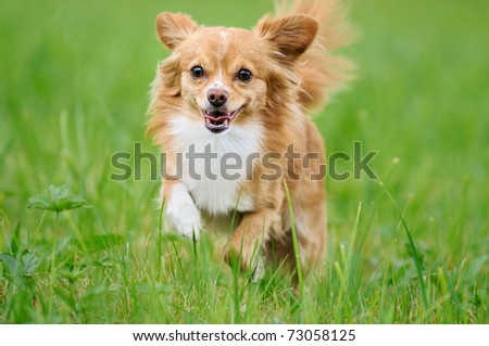 Chihuahua running over the meadow - stock photo