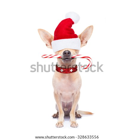 chihuahua santa claus dog hiding with red hat  , isolated on white background on christmas holidays - stock photo