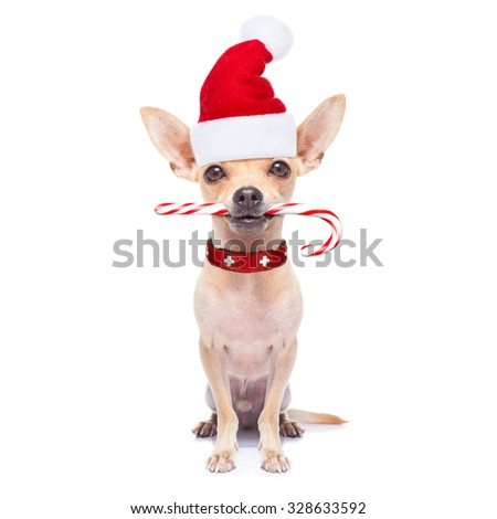 chihuahua santa claus dog with sugar candy cane in mouth, for christmas , isolated on white background - stock photo