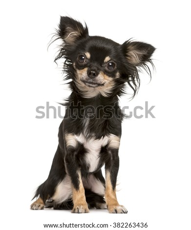 Chihuahua sitting and looking at the camera, isolated on white (16 months old)
