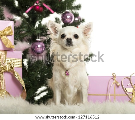 Chihuahua sitting in front of Christmas decorations against white background