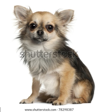 Chihuahua sitting in front of white background - stock photo