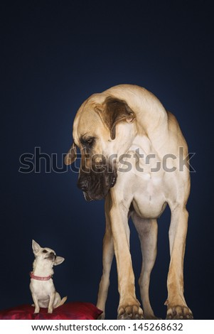 Chihuahua sitting on red pillow with Great Dane standing alongside against black background