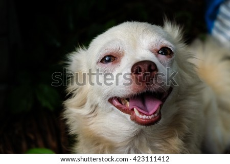 chihuahua small dog happy smile, cute pets friendly - stock photo