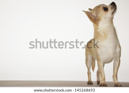Chihuahua standing and looking up against white background - stock photo