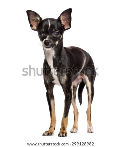 Chihuahua standing in front of a white background