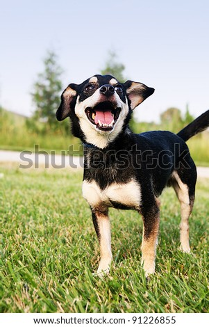 Chihuahua standing on the Grass Smiling. This is Reese she is a Chihuahua. Isolated from the background. Perfect outdoor lighting and natural setting. - stock photo