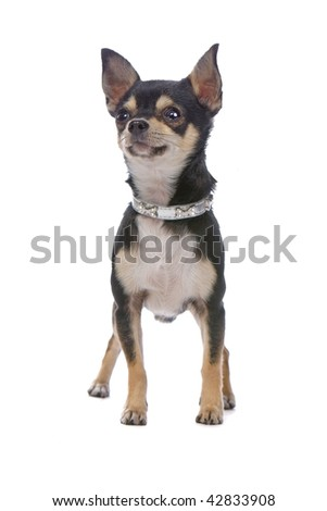 Chihuahua standing still and staring forward. Isolated on white. Short-haired and predominantly black and white with some brown markings