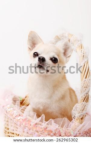 chihuahua / tiny dog / lovely dog / t-cup dog / small dog / big eyes / sweet eyes/ smiling face / smile dog / little dog / cute dog / acting dog /pink / dog in the basket / sweetie face /sweet - stock photo