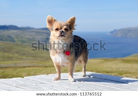 Chihuahua traveller against Norwegian landscape - stock photo