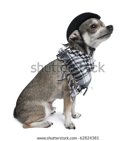 Chihuahua wearing a hat looking up in front of white background - stock photo