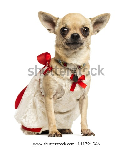 Chihuahua wearing a lace dress and fancy collar, isolated on white