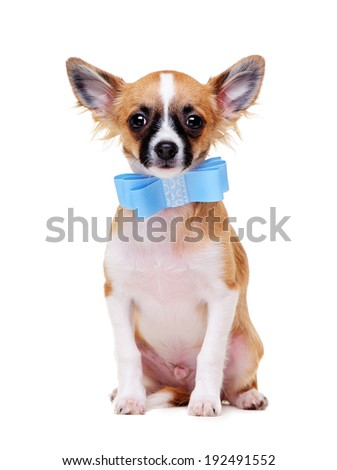 chihuahua   wearing bow tie sitting on white background