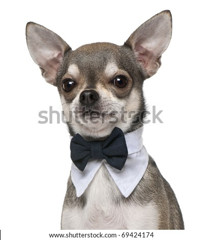 Chihuahua wearing bowtie, 3 years old, in front of white background - stock photo