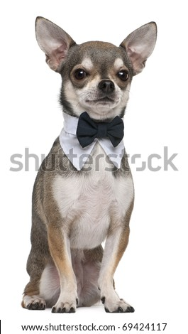 Chihuahua wearing bowtie, 3 years old, sitting in front of white background - stock photo