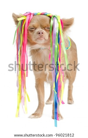 Chihuahua with eccentric hair style, against white - stock photo