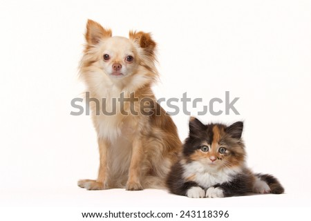 Chihuahua with Maine Coon kitten isolated on white
