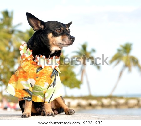 Chihuahua With Tropical Shirt And Lei - stock photo