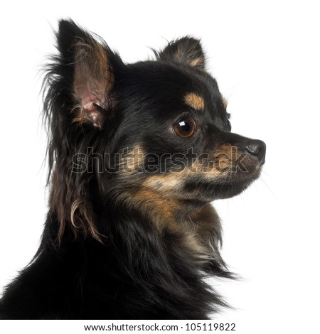 Chihuahua, 1 year old, against white background - stock photo