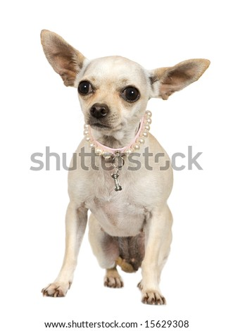chihuahua (2 years) in front of a white background