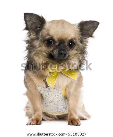 Chihuahua, 4 years old, dressed in yellow bow in front of white background - stock photo