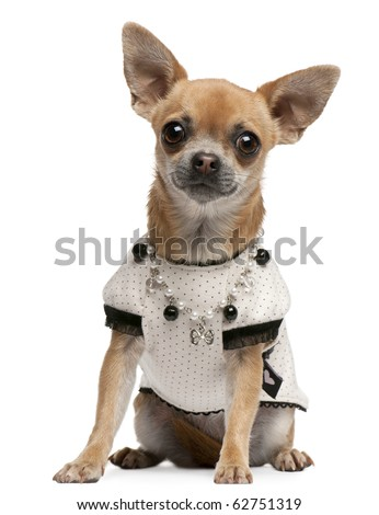 Chihuahua, 2 years old, dressed up and sitting in front of white background - stock photo