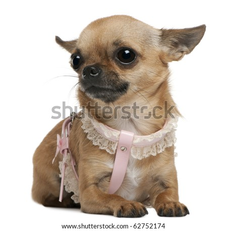 Chihuahua, 5 years old, dressed up and sitting in front of white background