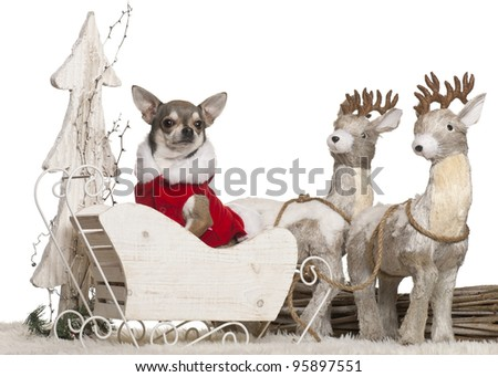 Chihuahua, 3 years old, in Christmas sleigh in front of white background - stock photo