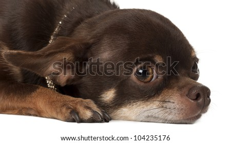 Chihuahua, 3 years old, lying against white background - stock photo