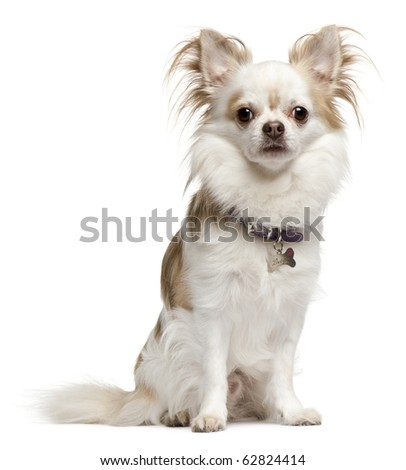 Chihuahua, 6 years old, sitting in front of white background - stock photo