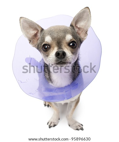 Chihuahua, 4 years old, wearing a space collar in front of white background - stock photo