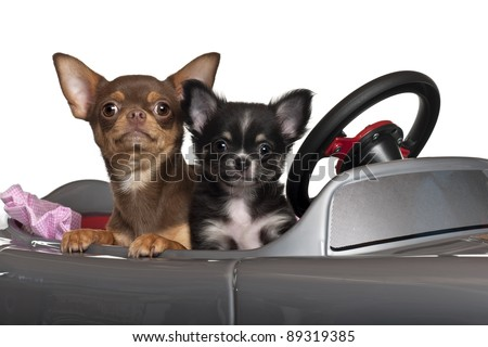 Chihuahuas, 7 and 3 months old, sitting in convertible in front of white background - stock photo
