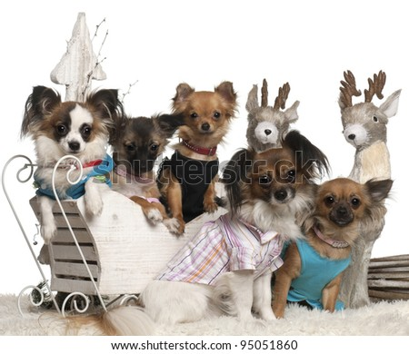 Chihuahuas in Christmas sleigh in front of white background - stock photo