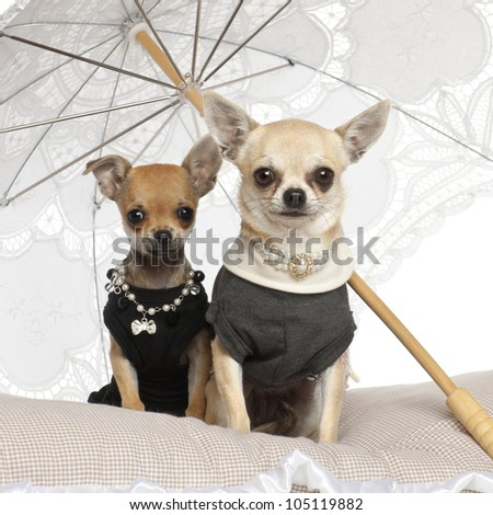 Chihuahuas, 3 years old, sitting under parasol against white background - stock photo