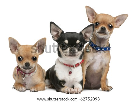 Chihuahuas, 3 years old, 2 years old, 3 months old, sitting in front of white background - stock photo