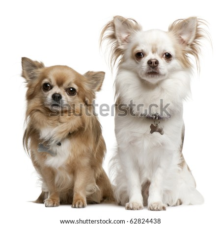 Chihuahuas, 7 years old, 6 years old, sitting in front of white background - stock photo