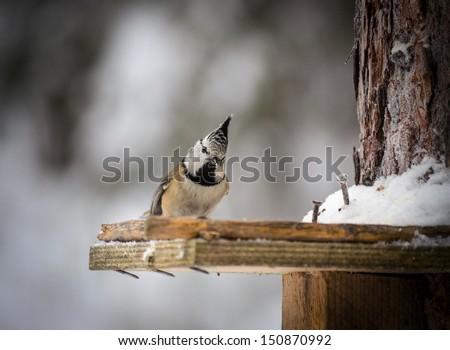 chikadee bird sitting on birdfeeder in winter wood - stock photo