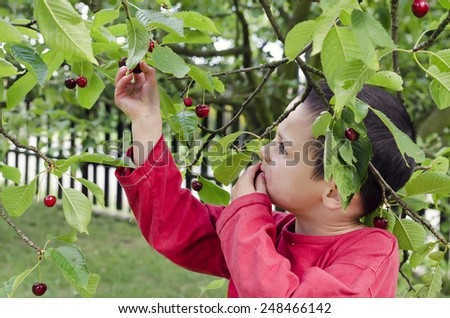 Child boy picking and eating cherries from a cherry tree in a garden - stock photo