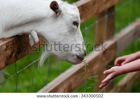Child feeds a white goat at the farm by the fence closeup