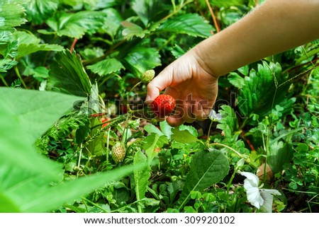 Child hand holding red strawberry, closeup in the garden - stock photo