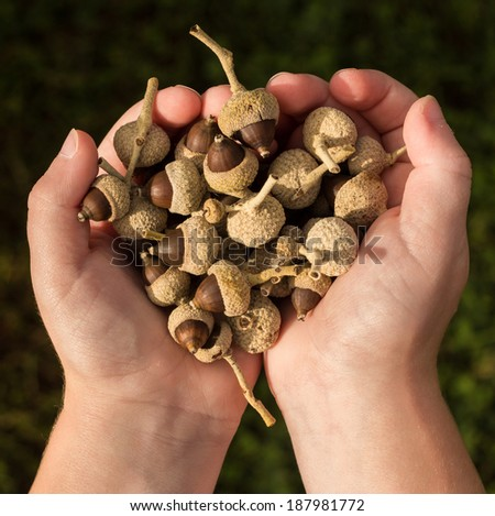 Child hands full of tree seeds that look like acorn nuts - stock photo