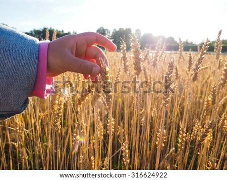 Child touching wheat grain on a field at close up at daylight - stock photo