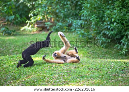 Children Northern white-cheeked gibbon or white-handed gibbon family playing together  - stock photo
