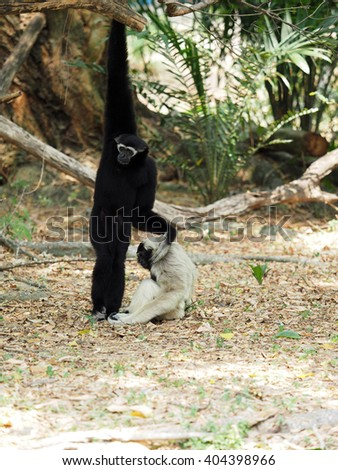 Children Northern white-cheeked gibbon or white-handed gibbon family playing together.  - stock photo