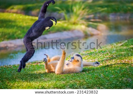 Children Northern white-cheeked gibbon or white-handed gibbon family playing together on the lawn at the zoo. - stock photo