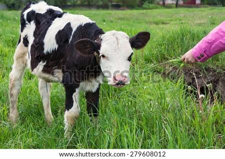 Children's hand and the calf - stock photo
