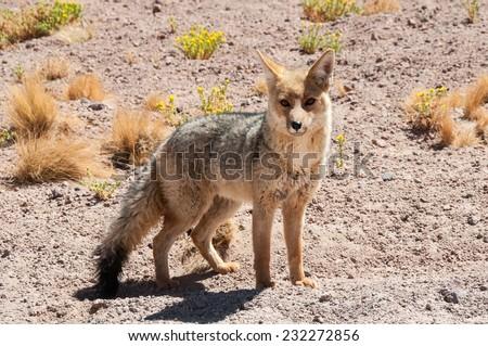 Chile's Andean fox, Atacama desert - stock photo