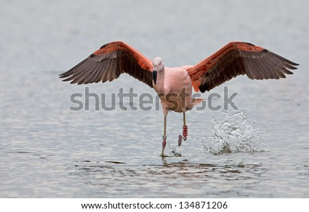 Chilean Flamingo in flight at a lake in the Netherlands