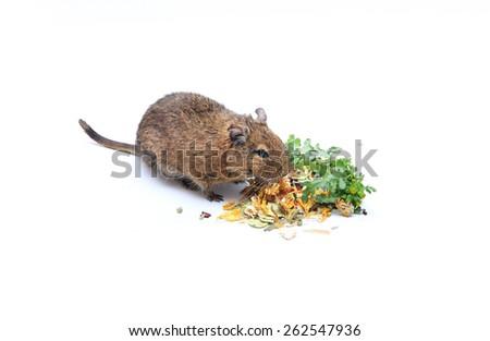 Chilean squirrel degu - stock photo